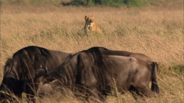 wide shot lioness looking around with wildebeests in foreground / lioness yawning and walking away / masai mara, kenya - wildebeest stock videos & royalty-free footage