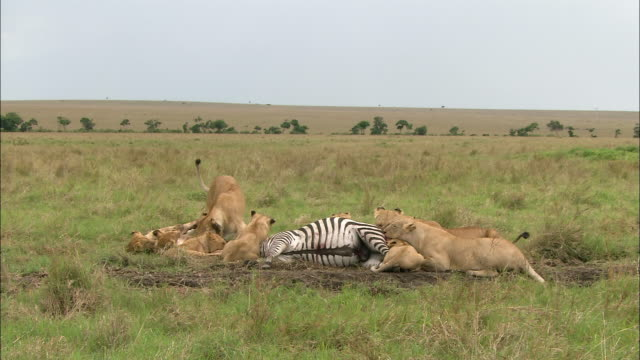 Wide shot lionesses and cubs feeding on zebra carcass / Masai Mara, Kenya