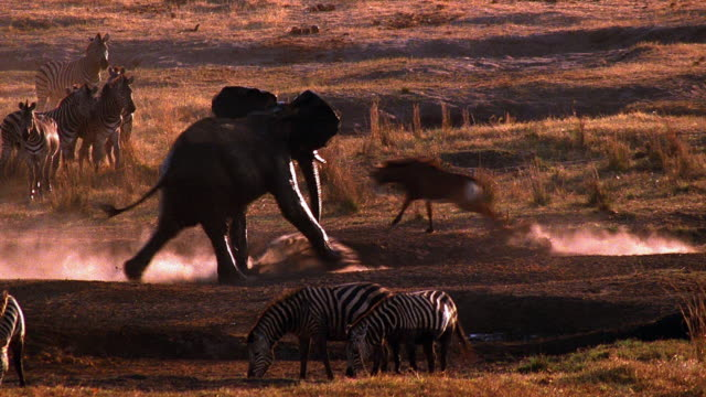 wide shot male african elephant charges gazelle / herd of zebras graze / baboon nearby / africa - anger stock videos & royalty-free footage