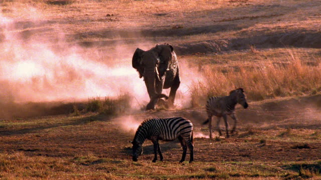 wide shot male african elephant charging zebra / other zebra grazing in foreground / africa - tierpenis stock-videos und b-roll-filmmaterial