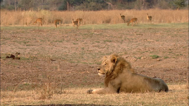 Wide shot male lion resting on savanna / antelope grazing in background / South Luangwa National Park / Zambia