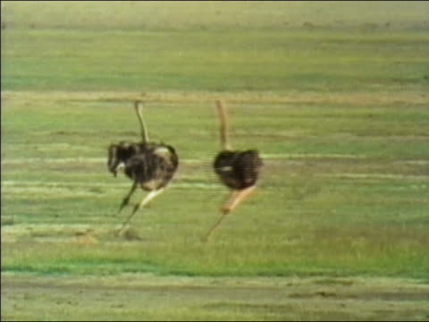 1984 wide shot male ostrich chasing female on green, grassy landscape / Tanzania