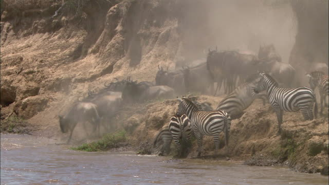 Wide shot migrating wildebeests jumping into river / zebras at river's edge / Masai Mara, Kenya