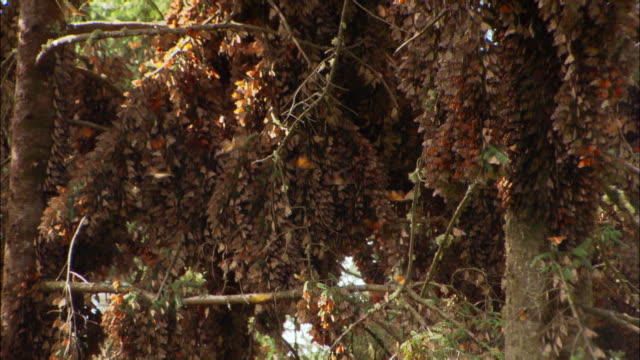 vidéos et rushes de wide shot monarch butterflies flying around/  zoom out trees covered with butterflies / monarch butterfly biosphere reserve, ocampo, mexico - plan large