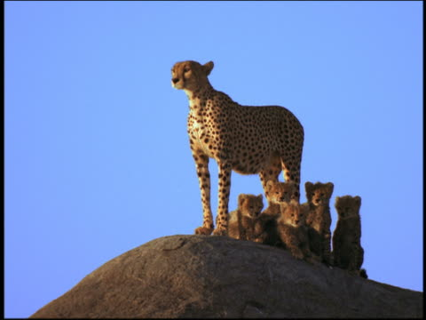 vidéos et rushes de wide shot mother cheetah standing guard over baby cheetahs on rock / serengeti, tanzania, africa - famille d'animaux