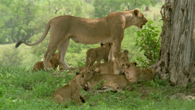 Wide shot mother lion standing over litter of cubs