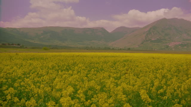 wide shot pan of mustard field with mountains in background /abruzzo, italy - mustard stock videos & royalty-free footage