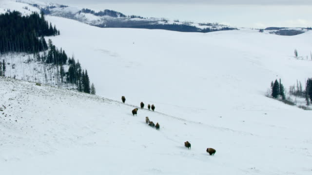 wide shot of a bison herd running in the snowy landscape - american bison stock videos & royalty-free footage