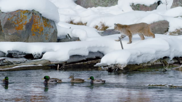 wide shot of a bobcat walking on snowy logs towards ducks - riverbank stock videos & royalty-free footage