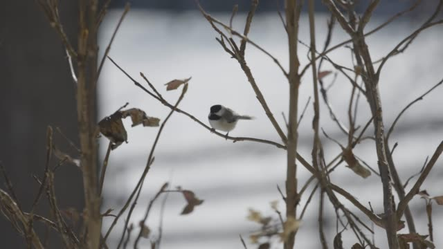 vídeos y material grabado en eventos de stock de wide shot of a carolina chickadee flying off a shrub branch - árbol latente