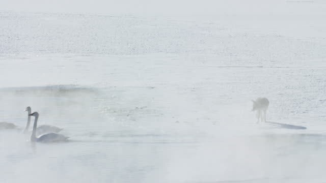 vidéos et rushes de wide shot of a coyote running at trumpeter swans - cygne