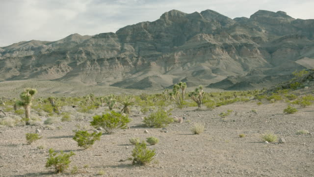 wide shot of a desert landscape with joshua trees and shrubs - tropical bush stock videos and b-roll footage