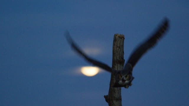 wide shot of a great horned owl taking off from a tree stump with the moon in the background - wisconsin stock videos & royalty-free footage