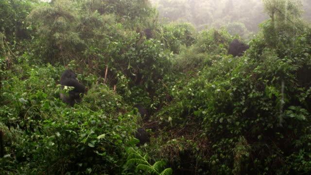 vidéos et rushes de wide shot of a group of gorillas meditating in the mist. - petit groupe d'animaux