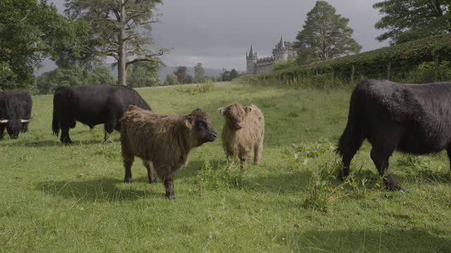 wide shot of a herd of highland cattle with calves grazing near inveraray castle - hooved animal stock videos & royalty-free footage