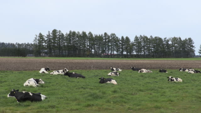 Wide shot of a large pasture where Holstein cattle are relaxing on grasses