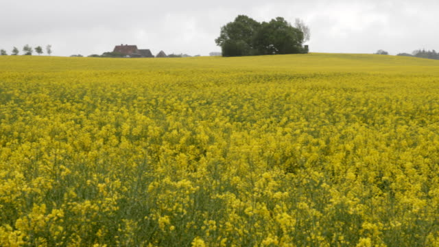 wide shot of a rapeseed field in northern germany in schleswig holstein - rapeseed oil stock videos and b-roll footage
