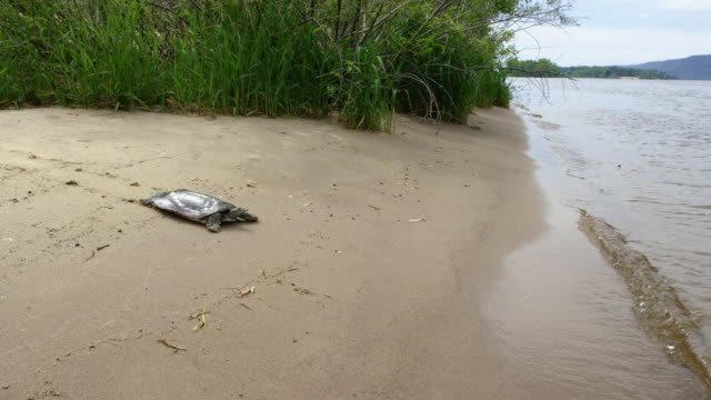 wide shot of a softshell turtle moving toward to the water - animals in the wild stock videos & royalty-free footage