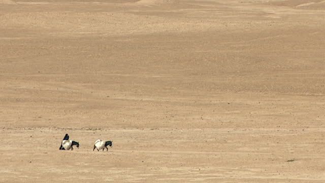 wide shot of a veiled woman with two mules laden with goods, crossing the desert in warka site of the ancient city of uruk, capital of the legendary... - wide stock videos & royalty-free footage