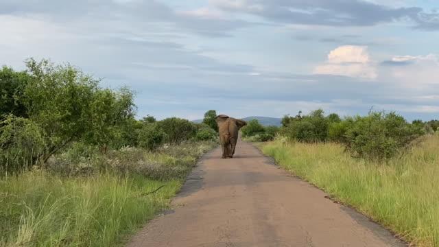 vídeos de stock, filmes e b-roll de tiro largo de um elefante andando pela estrada - elefante