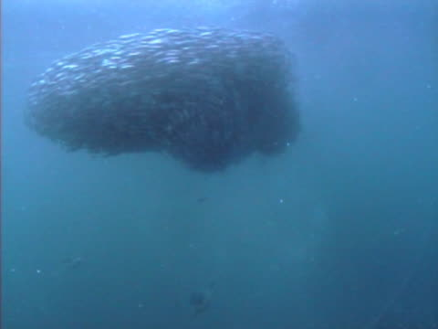 wide shot of ball of fish and birds - oceano atlantico del nord video stock e b–roll