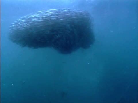 wide shot of ball of very nervous fish with auks feeding on them from beneath. fish trying to stay in a tight ball otherwise known as a bait ball. hebrides, scotland. - north atlantic ocean stock videos & royalty-free footage