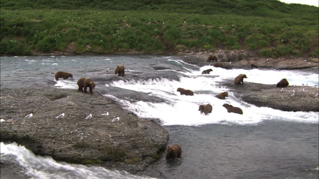 vidéos et rushes de wide shot of bears on the falls waiting for fish - large group of animals
