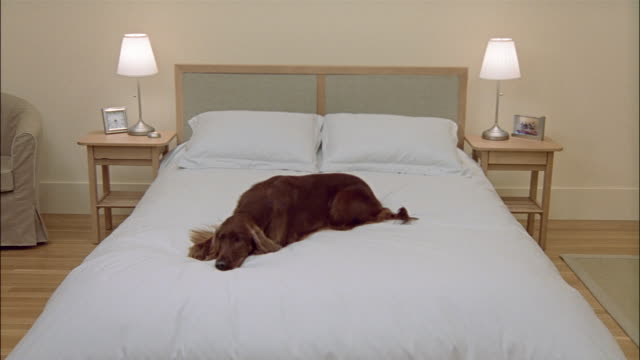 wide shot of bed with white comforter / irish setter jumping onto bed and lying down - duvet stock videos & royalty-free footage