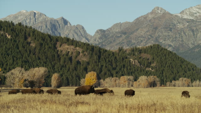 wide shot of bison running in field / grand teton national park, wyoming, united states - grand teton bildbanksvideor och videomaterial från bakom kulisserna