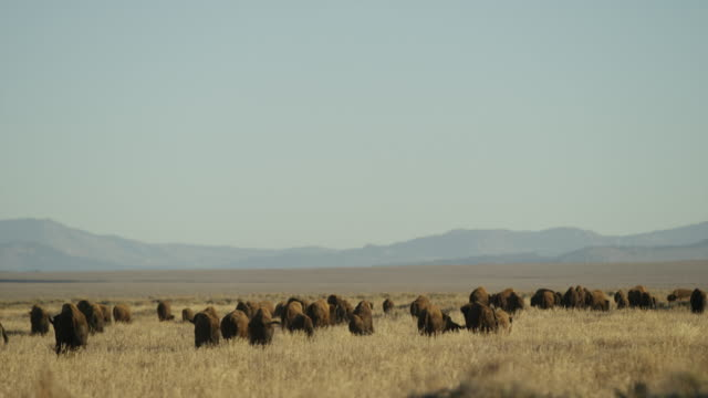 vidéos et rushes de wide shot of buffalo grazing in grassland / grand teton national park, wyoming, united states - plaine zone herbeuse