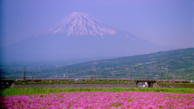 wide shot of bullet train passing field of flowers / Mt Fuji background