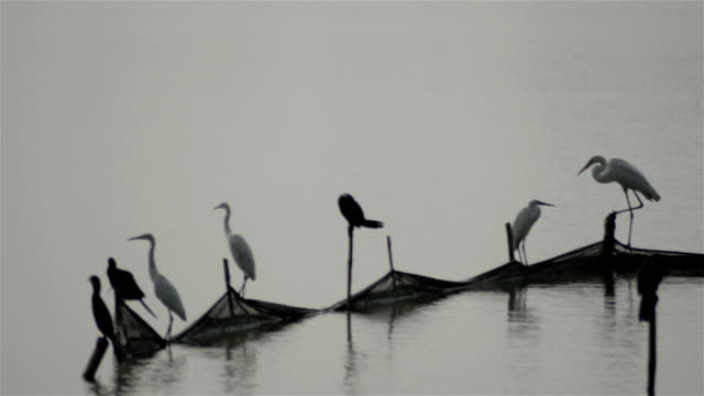 Wide shot of cormorant,stork waiting for catching fish in a fish pond in India.