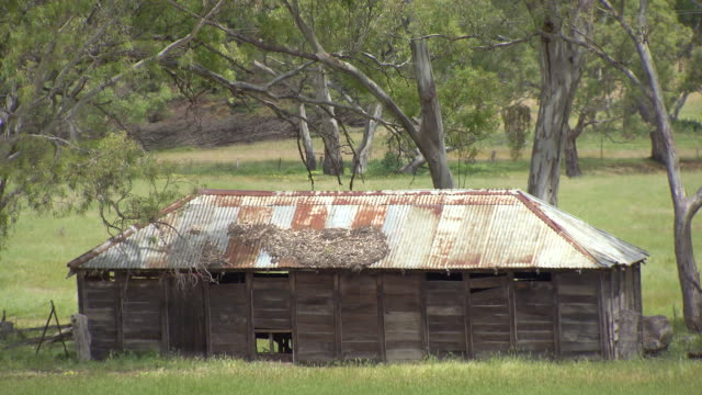 Wide shot of Eucalyptus tree canopy tilt down to a clearing and a rustic dilapidated wooden shed with corrugated iron roof sitting in a paddock /...