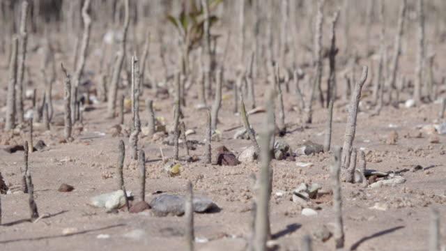 vídeos de stock e filmes b-roll de wide shot of fiddler crabs on the mudflats waving claws - lamaçal