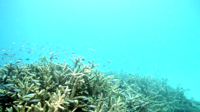wide shot of fish swimming over bleached coral reef - 漂白した点の映像素材/bロール