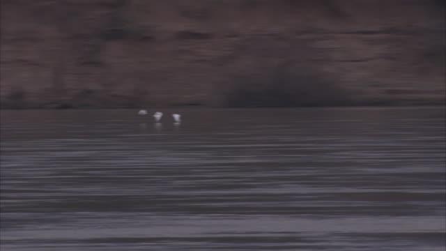 Wide shot of flock of white birds flying above lake