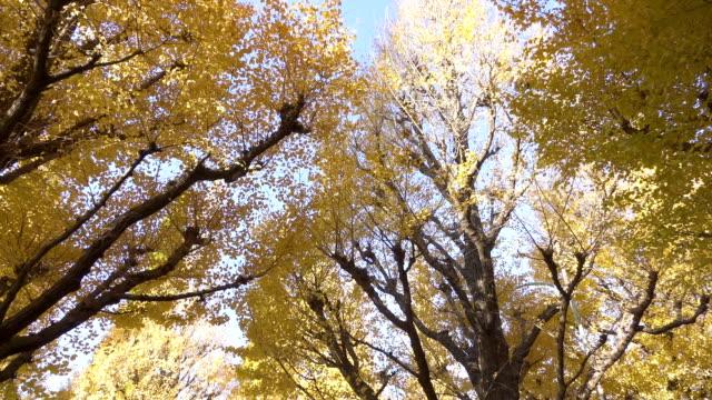 breite schuss von ginkgo-bäume - ginkgobaum stock-videos und b-roll-filmmaterial