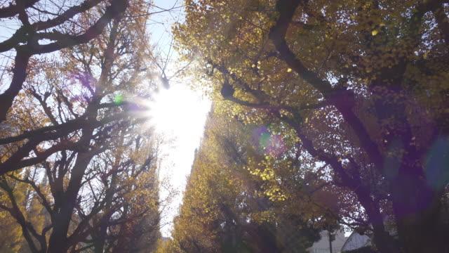 4k: breite schuss von ginkgo-bäume - ginkgobaum stock-videos und b-roll-filmmaterial
