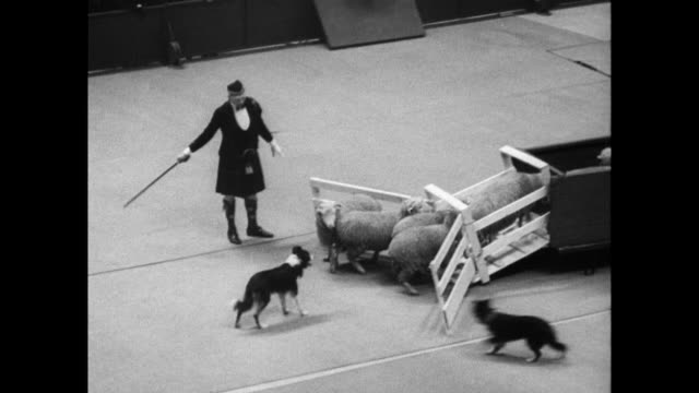 wide shot of indoor stadium full of spectators dogs judges and dog owners / three dogs run across the arena with their handlers / man in kilt helps... - 1938 stock videos and b-roll footage