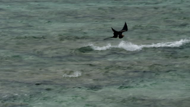 wide shot of juvenile frigate-bird flying over water - water bird stock videos & royalty-free footage