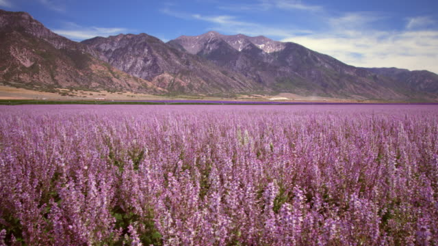 vidéos et rushes de wide shot of lavender field and mountains - provo