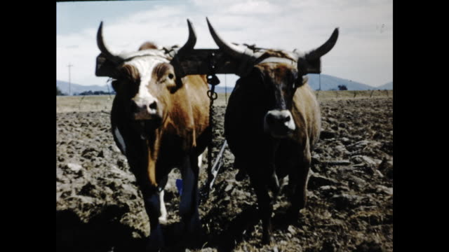 wide shot of man and cow plowing the field behind a fence; two cars walking toward camera; panning shot of cows and man standing in the field - the cars stock videos & royalty-free footage