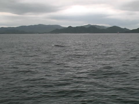 Wide shot of Minke whale surfacing with Hebridean islands behind
