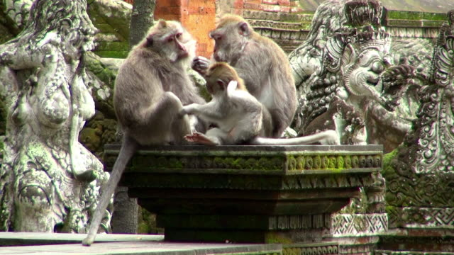 vidéos et rushes de wide shot of monkeys on top cleaning each other - trois animaux