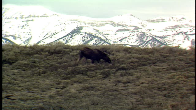 wide shot of moose grazing in field wih rocky mountains in background - hooved animal stock videos and b-roll footage