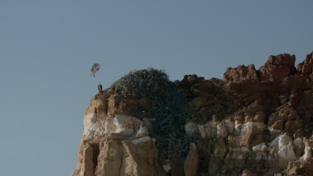vídeos de stock e filmes b-roll de wide shot of osprey adult perched on cliff, second bird flies into shot towards nest - reserva selvagem