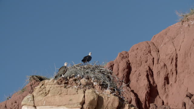 wide shot of osprey nest with two parent birds - osprey stock videos & royalty-free footage