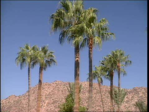 wide shot of palm trees with desert mountains in background in phoenix arizona - natural land state stock videos & royalty-free footage
