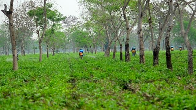 Wide shot of Pesticide being sprayed over tea leaves in Assam Tea garden