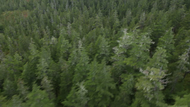 wide shot of pine trees - coniferous tree stock videos and b-roll footage